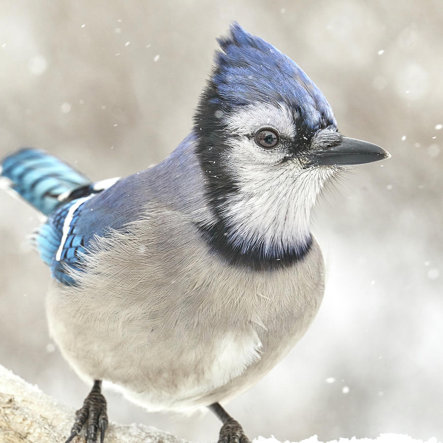 Blue Jay In A Snow Storm by Jim Hughes