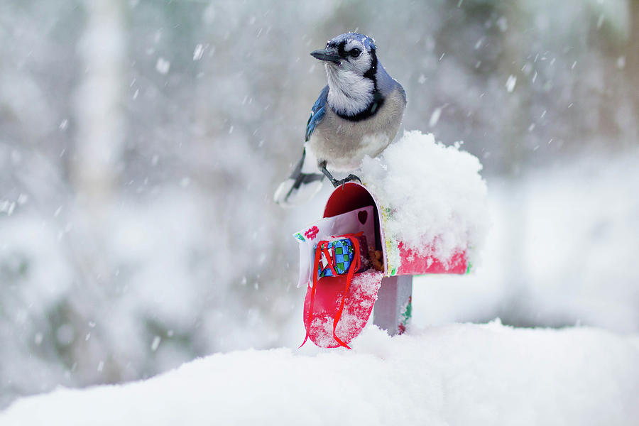 Blue Jay In Snow On Tiny Mailbox Photograph by Nancy Rose