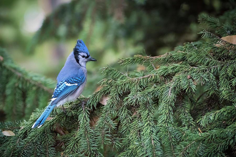 Blue Jay in the Evergreens by Bill Cubitt