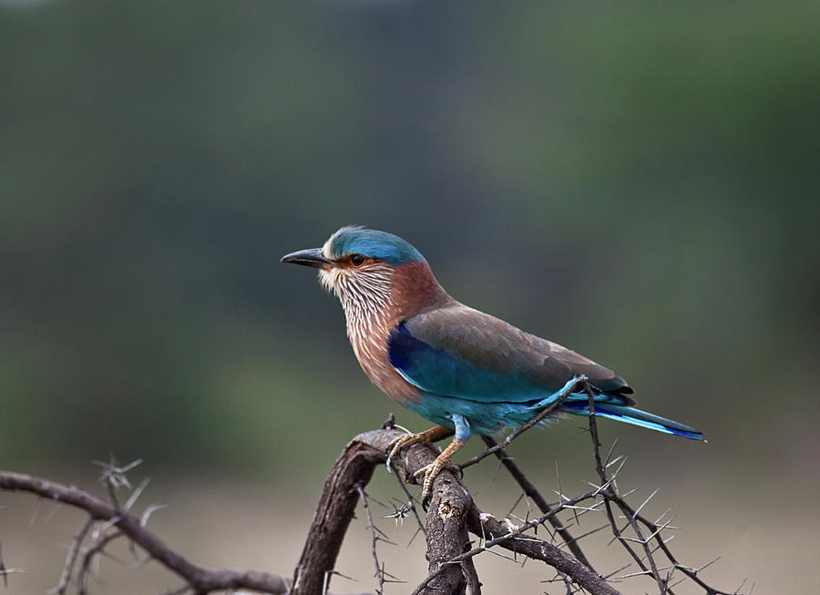 Blue Jay Or Indian Roller Photograph by Nature Photography By Jayaprakash