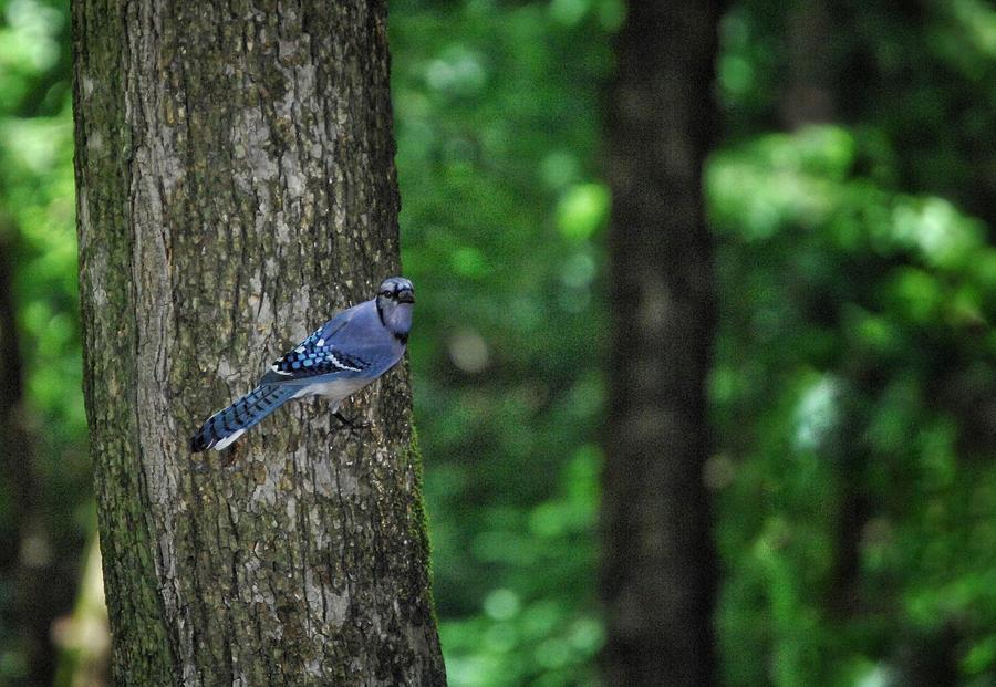 Blue Jay Scout by DArcy Evans