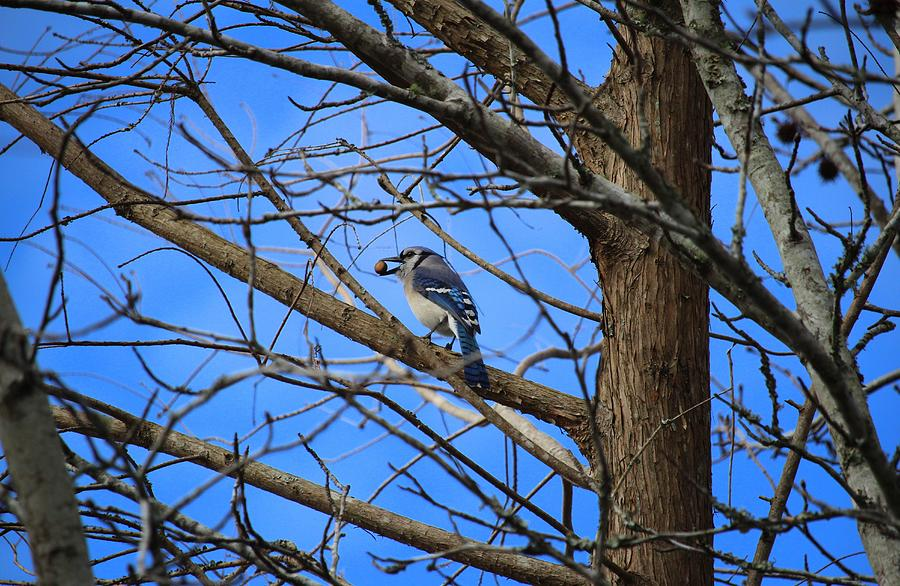 Blue Jay With Acorn by Cynthia Guinn