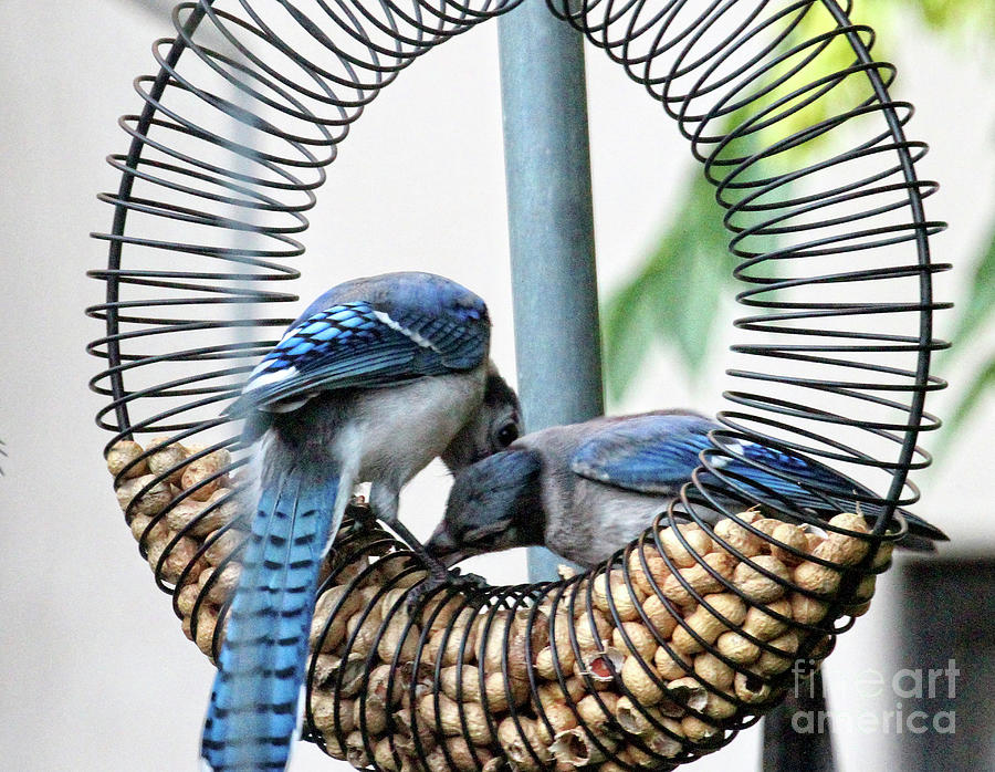 Cyanocitta Cristata Photograph - Blue Jays Wooing 1 by Patricia Youngquist