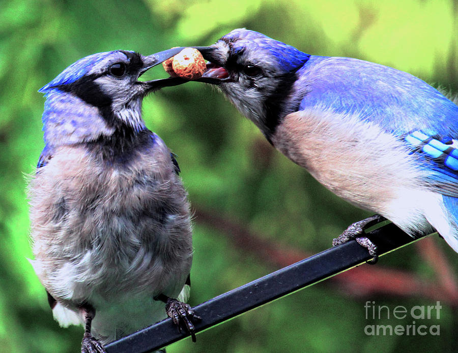 Wildlife Photograph - Blue Jays Wooing 2 by Patricia Youngquist