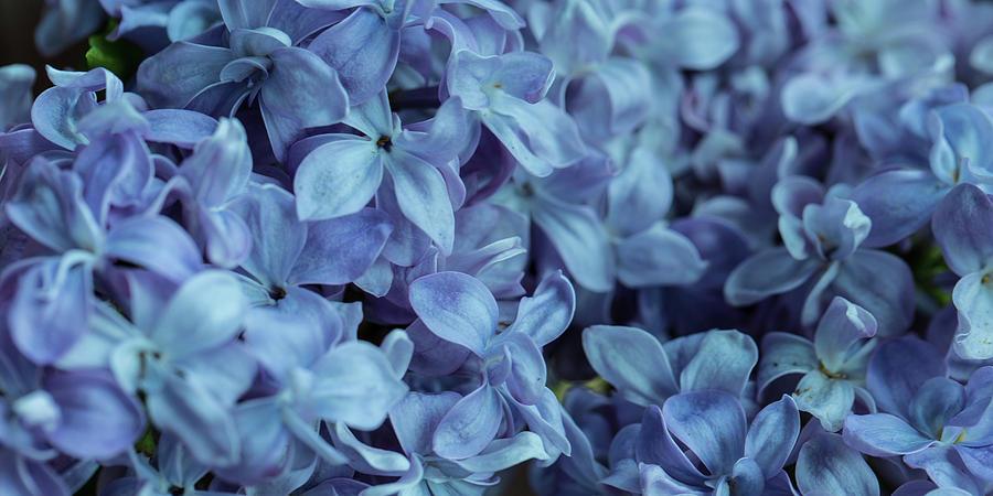 Blue Lilacs by Mark Shoolery