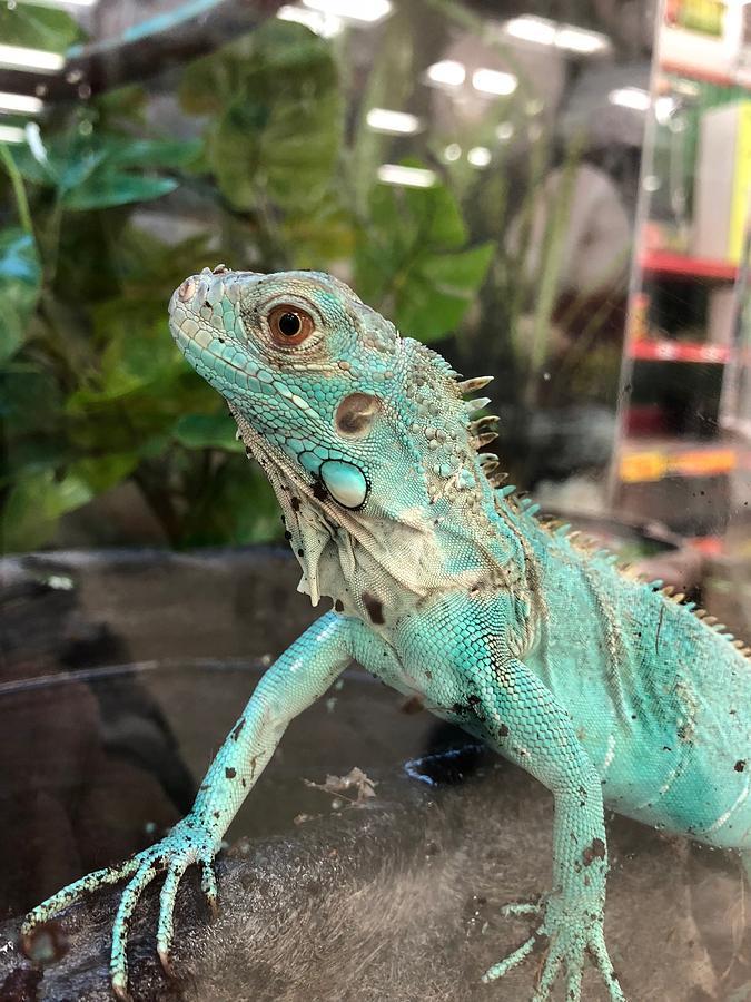 Turquoise Blue Iguana Lizard by Lesa Fine