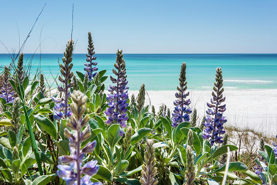 Blue Lupine on the Beach by Kurt Lischka