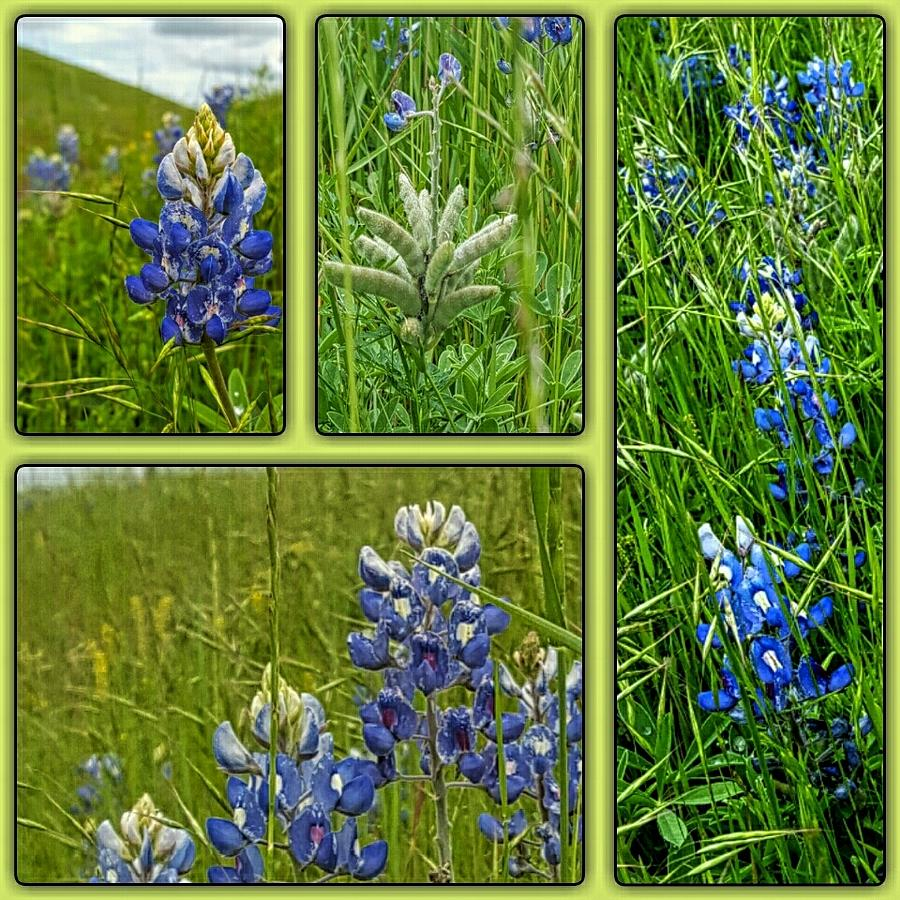 BLUE LUPINES ARE TEXAN BLUEBONNETS by Pamela Smale Williams