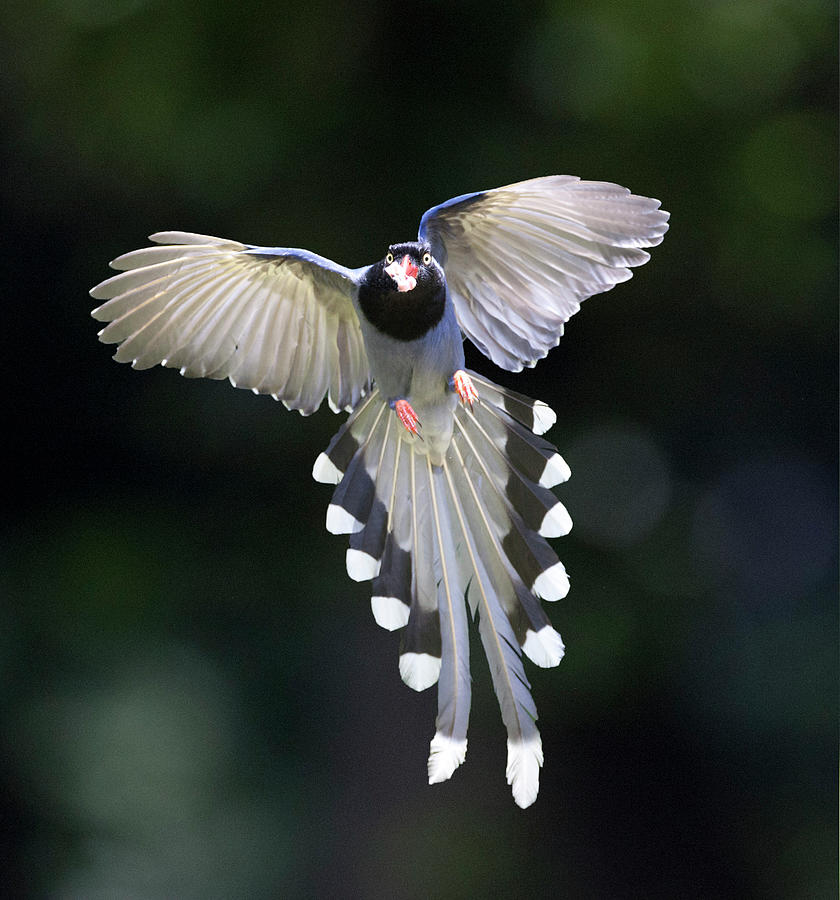 Blue Magpie Flying Photograph by Richard Mcmanus