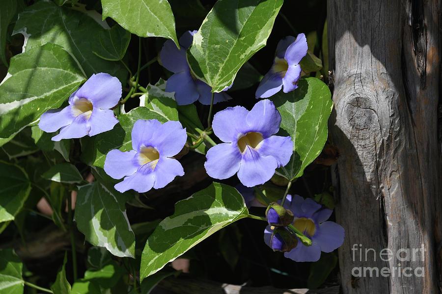 Blue Morning Glory by Diana Mary Sharpton