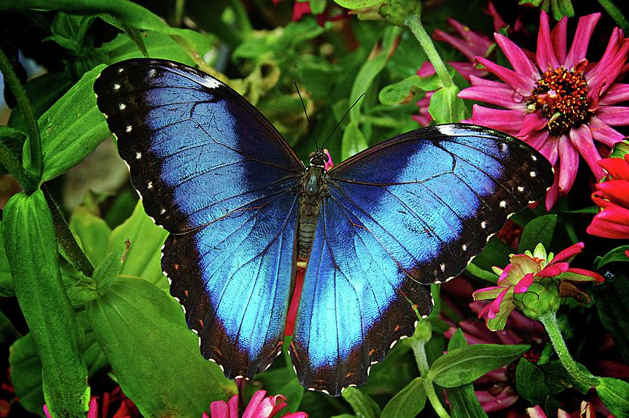 Blue Morpho Beauty by Karen McKenzie McAdoo