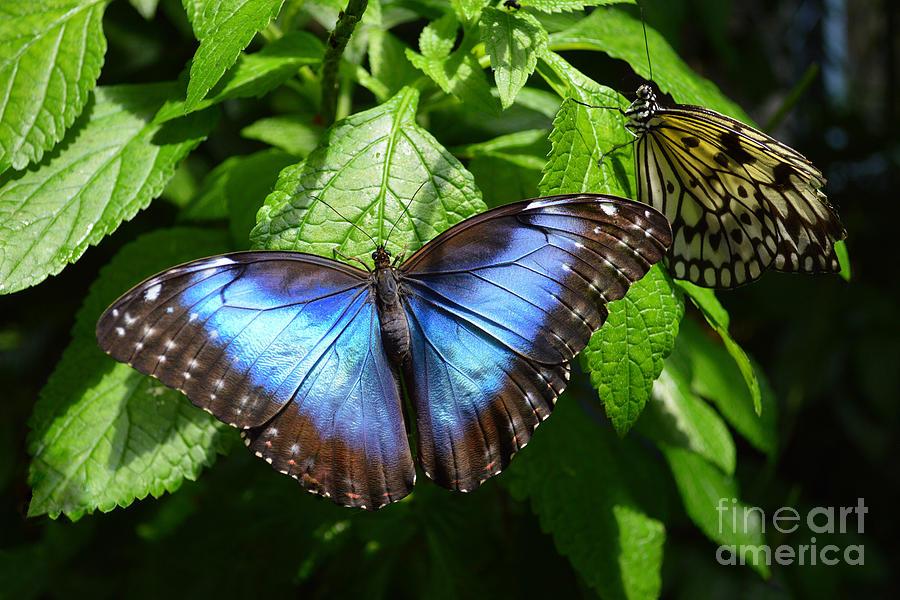 Blue Morpho Butterfly by Catherine Sherman