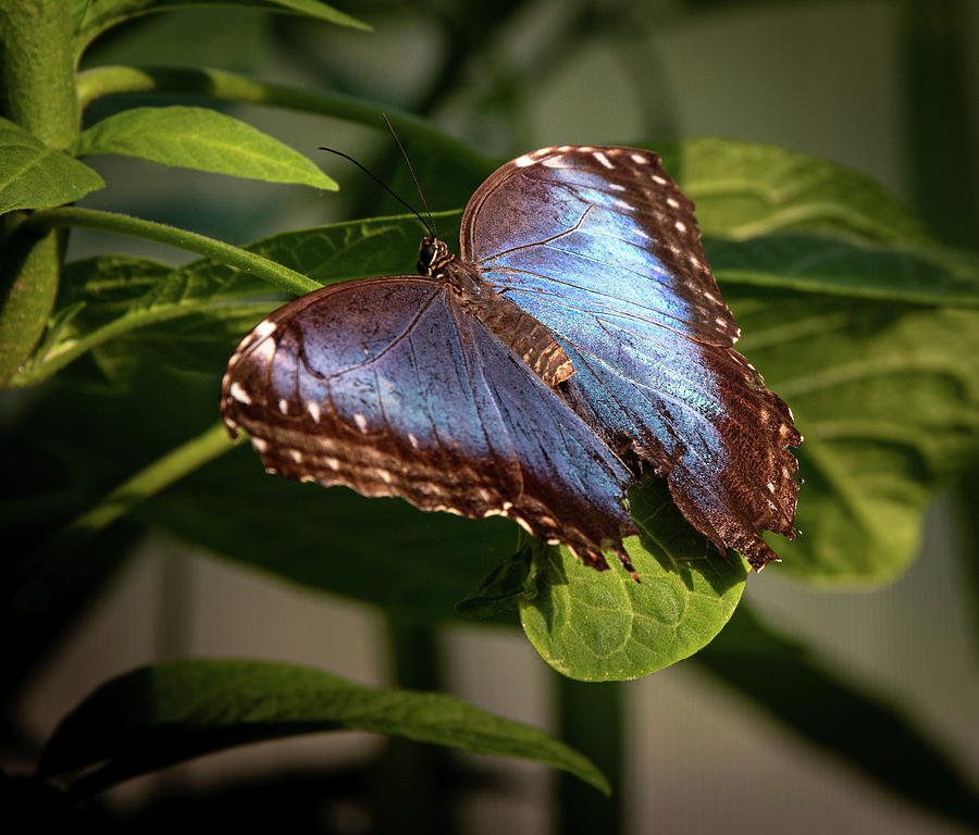 Blue Morpho butterfly by Dean Ginther