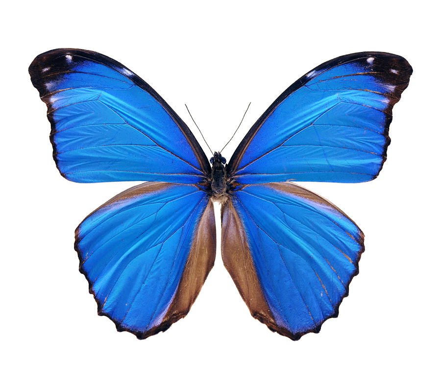 Blue Morpho Butterfly - Large Photograph by Phototalk
