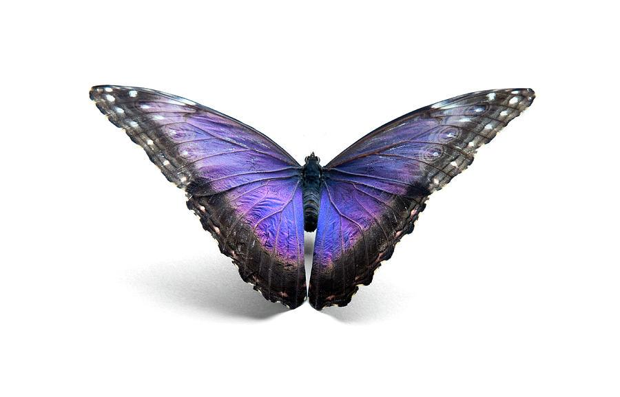 Blue Morpho Butterfly Photograph by Mashabuba