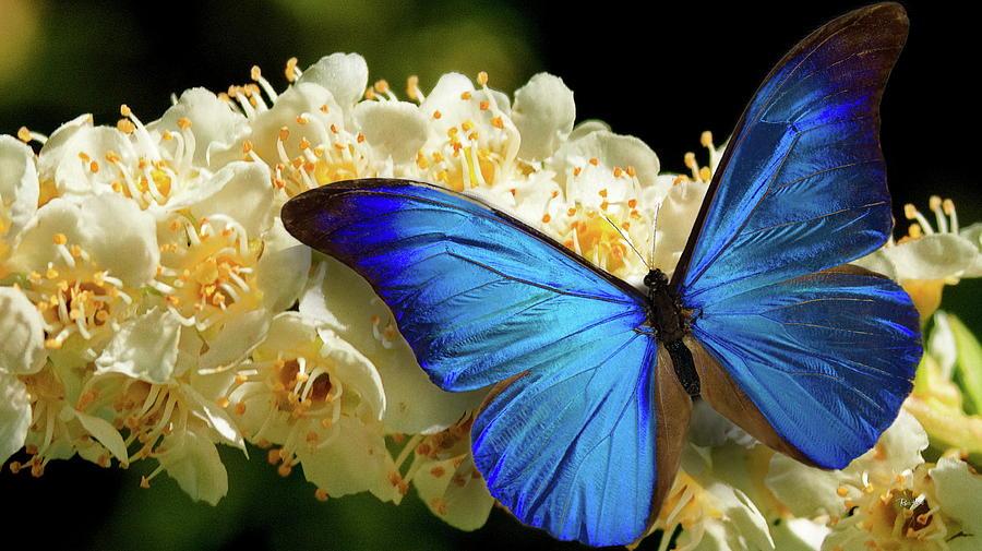 Blue Morpho Butterfly Photograph By Russ Harris