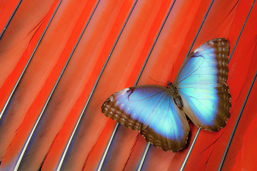 Blue Morpho Butterfly Scarlet Macaw Photograph by Darrell Gulin