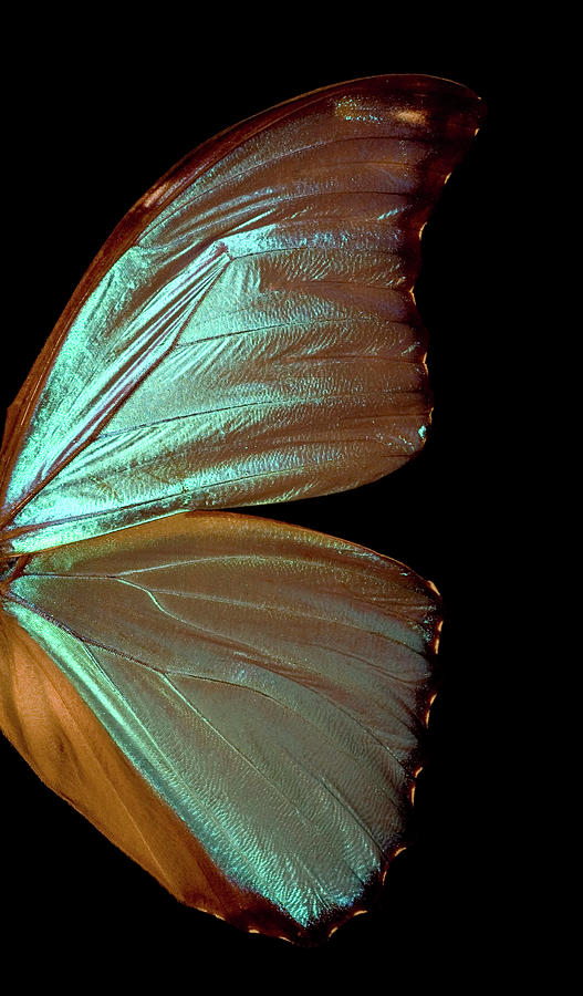 Blue Morpho Butterfly Wing Photograph by Jcarroll-images