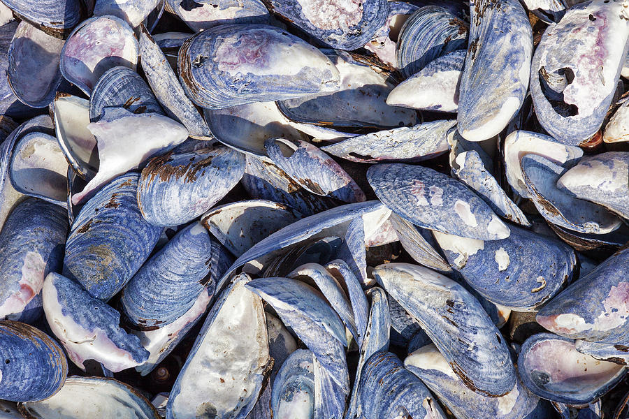 Blue Mussel Shells On The Atlantic Coast Photograph by Robert George Young
