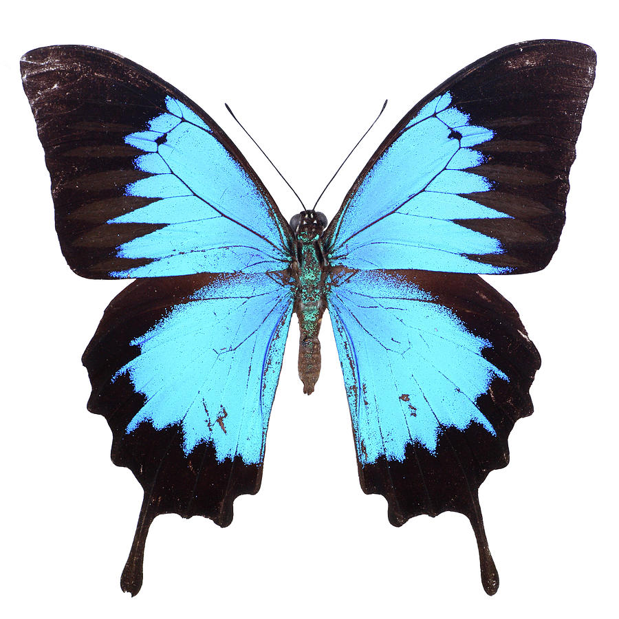 Blue Papilio Butterfly Photograph by Imv