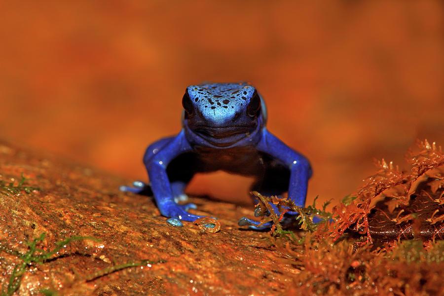 Blue Poison Dart Frog Photograph by Tier Und Naturfotografie J Und C Sohns