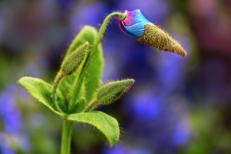 Blue Poppy Flower And Buds by Susan Candelario
