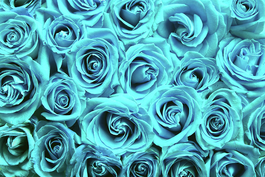 Blue roses by Top Wallpapers