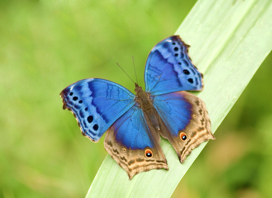 Blue Salamis Butterfly Photograph by Soopysue