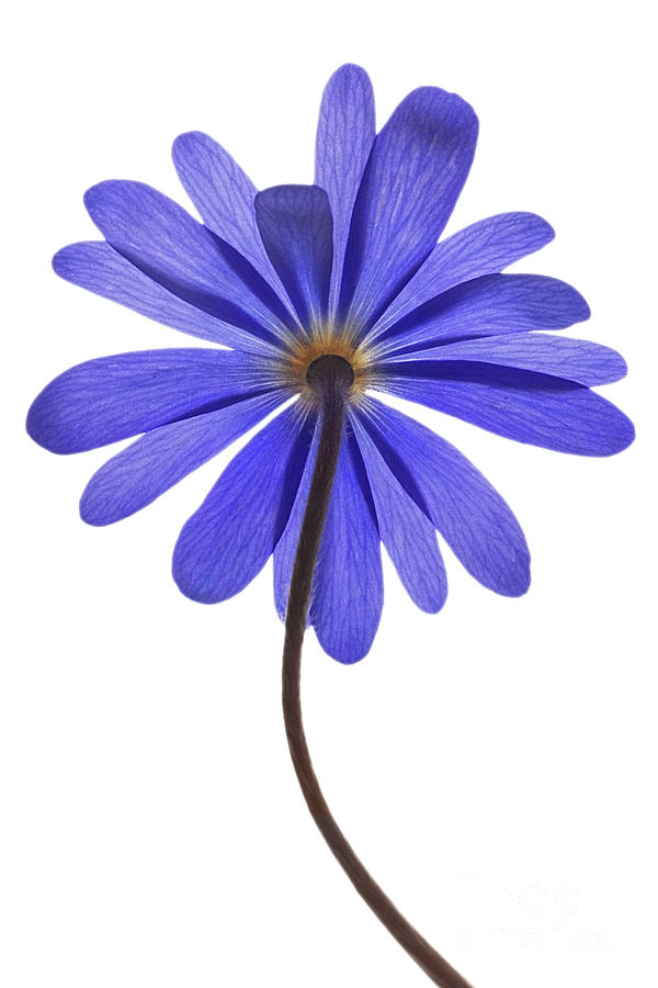 Anemone Blanda Photograph - Blue Shades by John Edwards