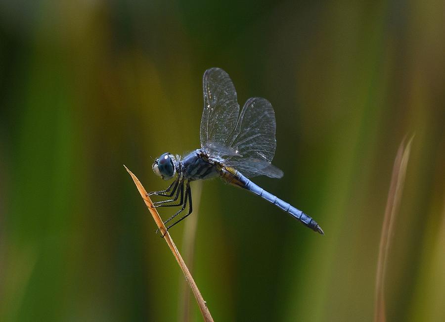 Blue Skimmer Dragonfly by Fraida Gutovich