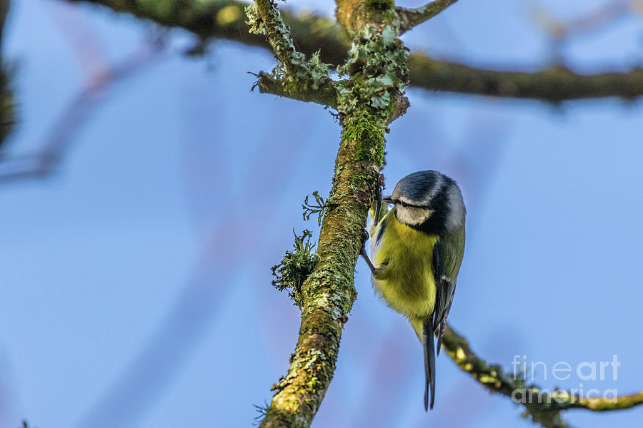 Blue Tit 01 by Brian Roscorla