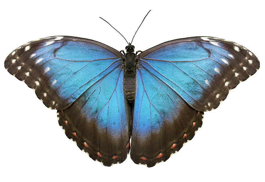 Blue Tropical Butterfly On White Photograph by Rinocdz