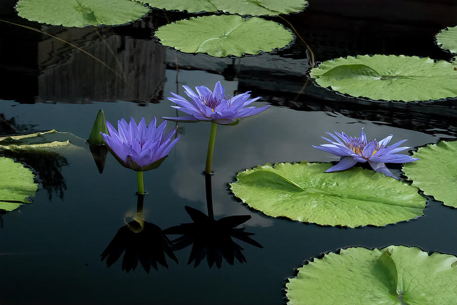 Blue Water Lilies by Ronald Santini