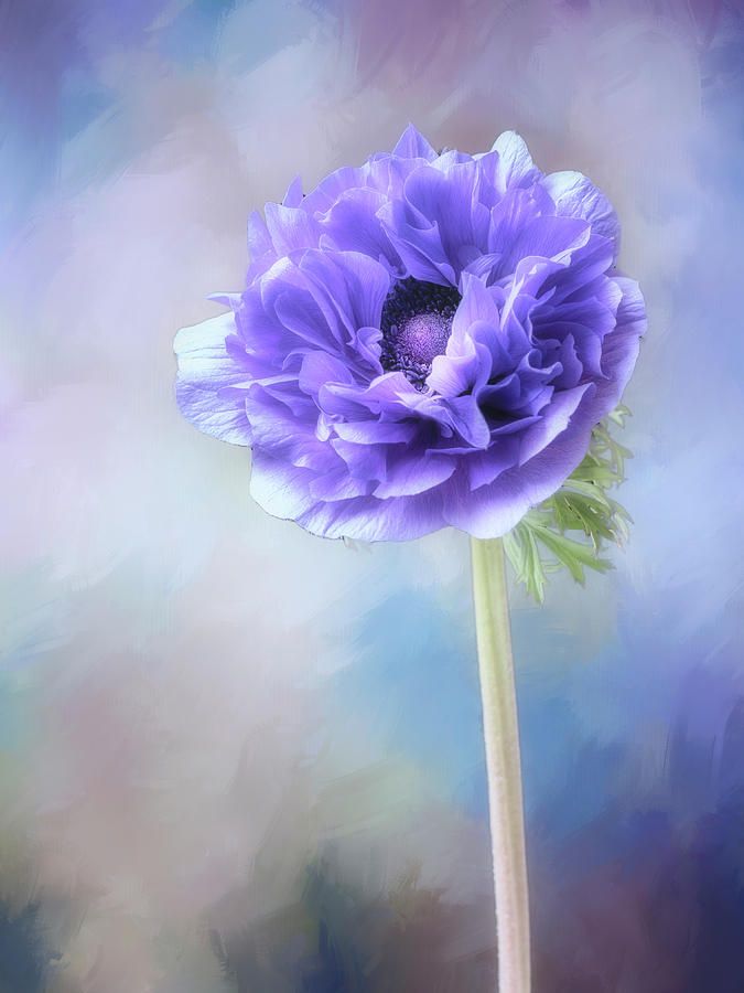 Blue windflower by Usha Peddamatham