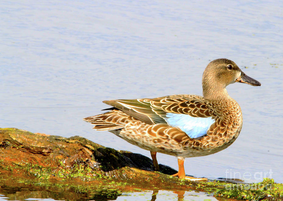 Blue-winged Teal female Duck by Paula Guttilla
