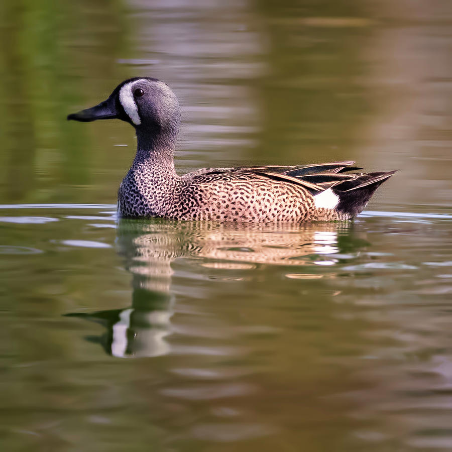 Blue Winged Teal by JASawyer Imaging