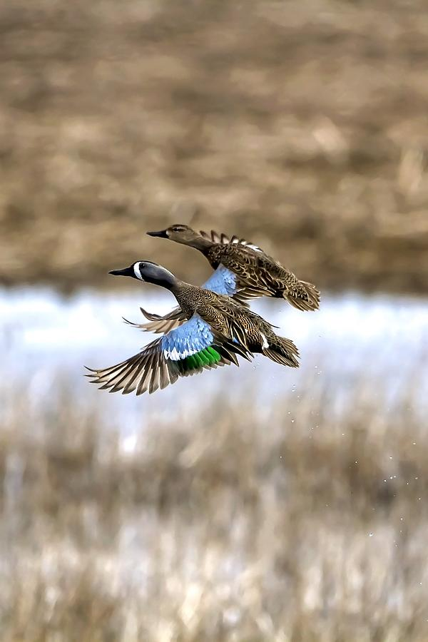 Blue Winged Teals In Flight Photograph
