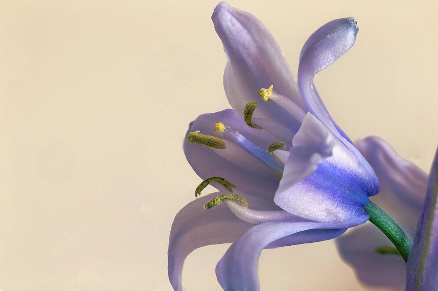 Bluebell flower  by Paul Cowan
