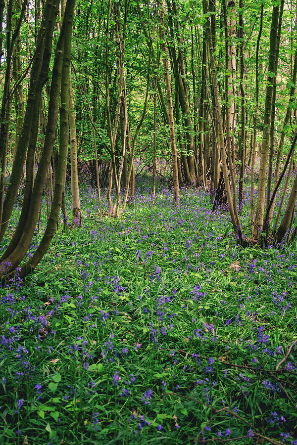 Bluebell Forest by Pati Photography