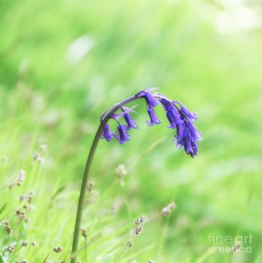 Bluebell Nodding In The Sun Photograph