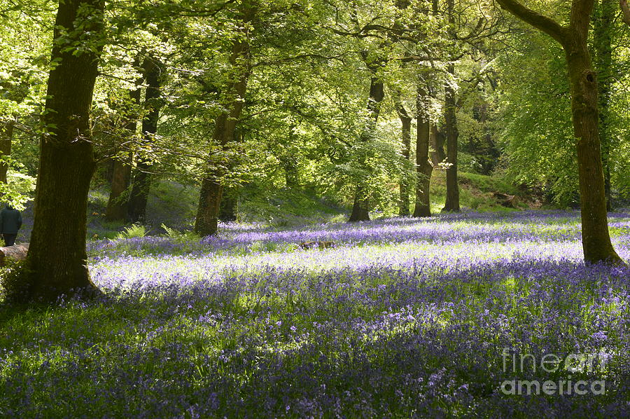 Bluebells Photograph - Bluebell Woods by Andy Thompson