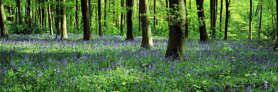 Horizontal Photograph - Bluebells In A Forest, Micheldever by Panoramic Images