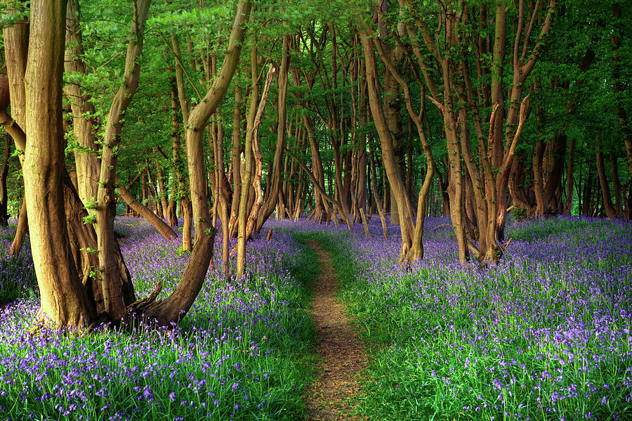 Bluebells In Sussex Photograph by Photography By Sam C Moore
