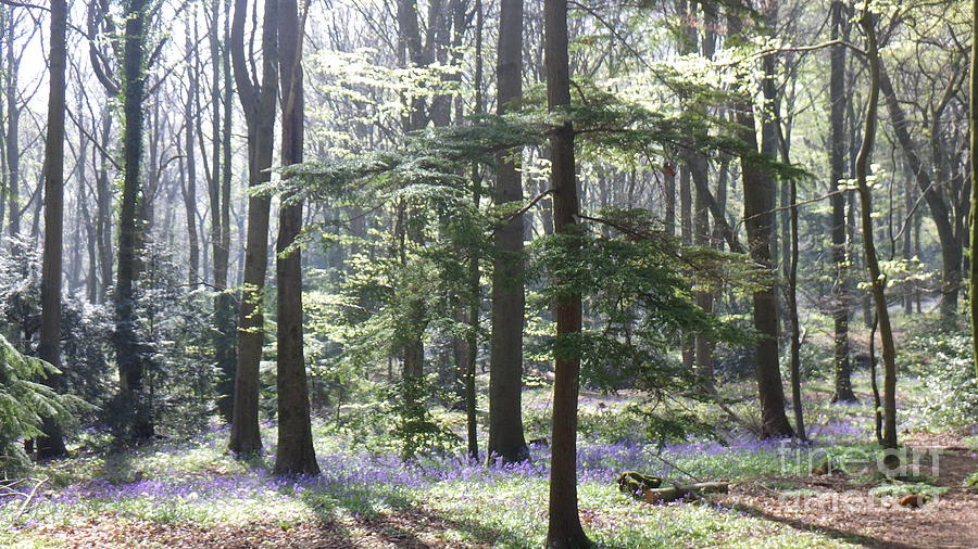 Bluebells photo 4 by Harry Potter