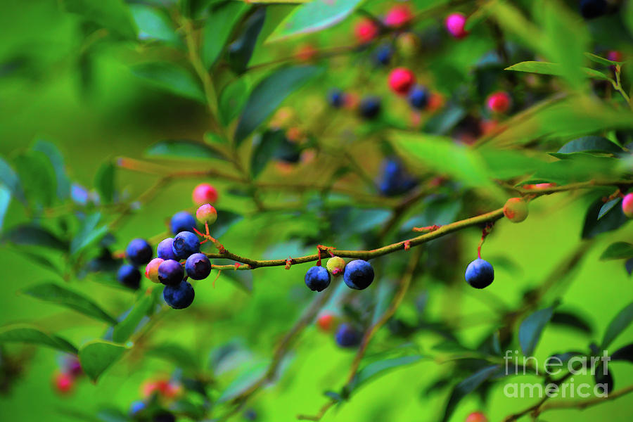 Blueberry Farm at Harvest by Rebecca Carr