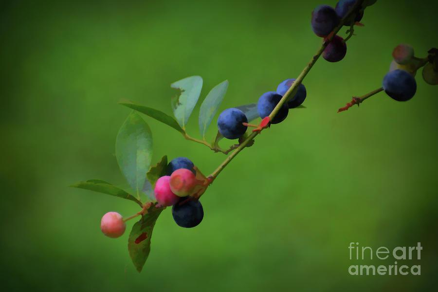 Blueberry Harvest Season by Rebecca Carr