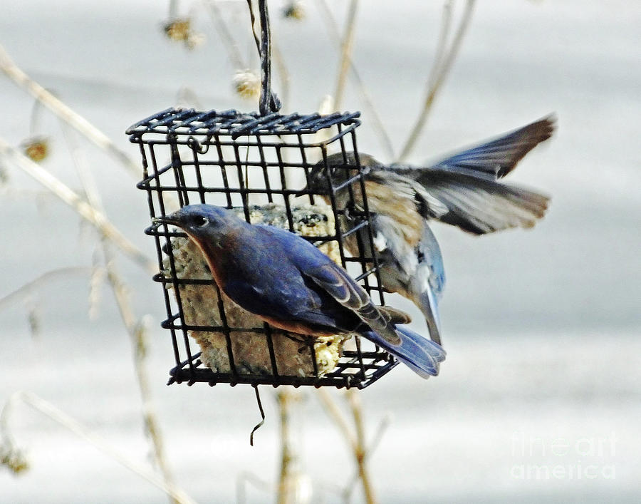 Bluebird 30 by Lizi Beard-Ward
