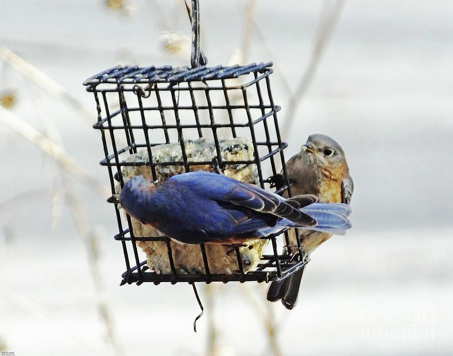 bluebird 31 by Lizi Beard-Ward