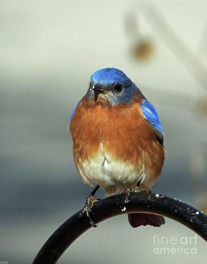 Bluebird 37 by Lizi Beard-Ward