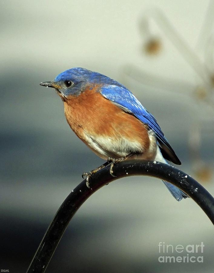 Bluebird 38    by Lizi Beard-Ward